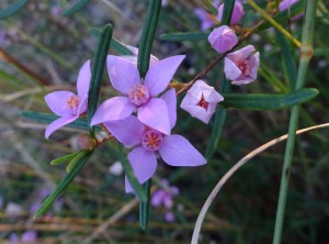Boronia rosmarinifolia  A part of Wallum vegetation on the Fraser Coast